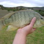Tilipia caught at http://www.flywaters.co.za/mardouw-country-house/